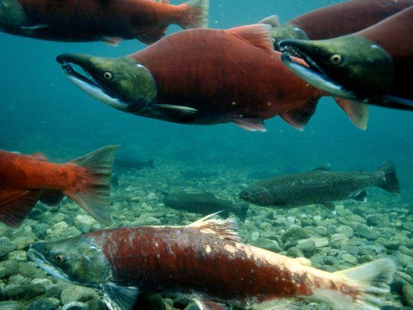 STK_Salmon fish 1