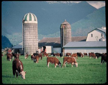 STK_Cows 4